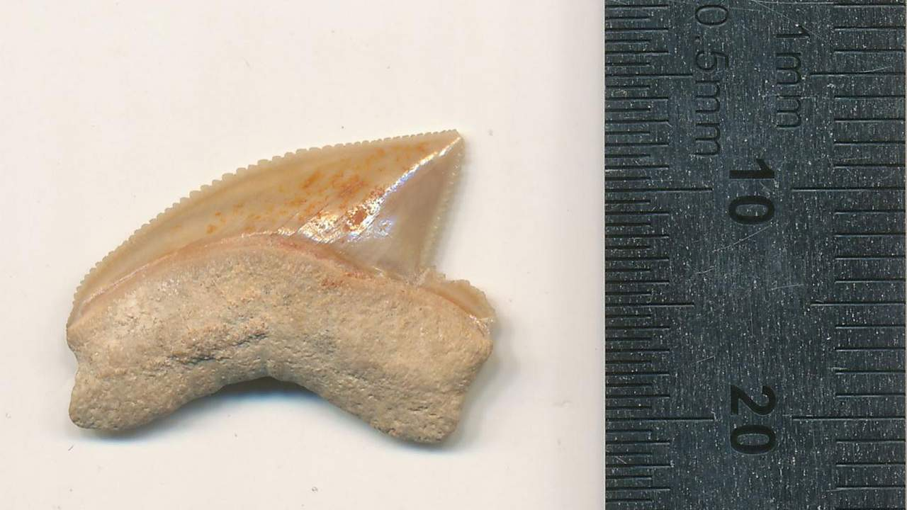 Scientists discover fossilized shark teeth in an unexpected area