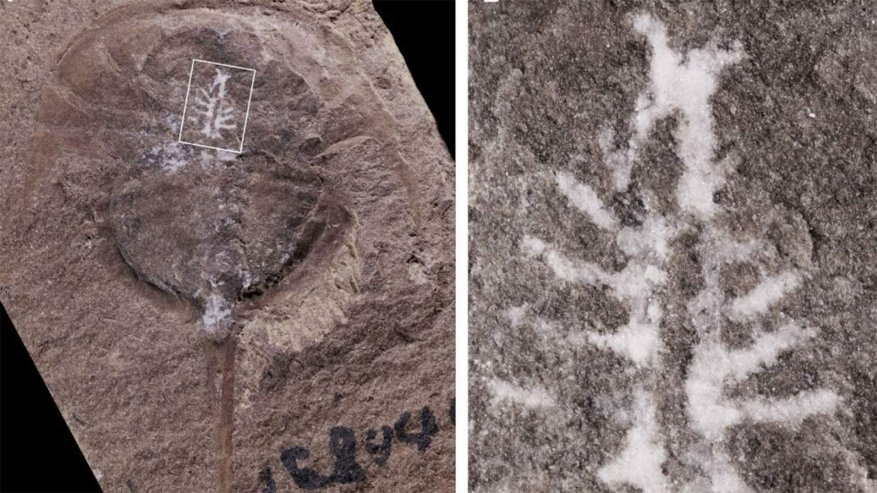 A newly discovered fossil has a remarkably preserved brain