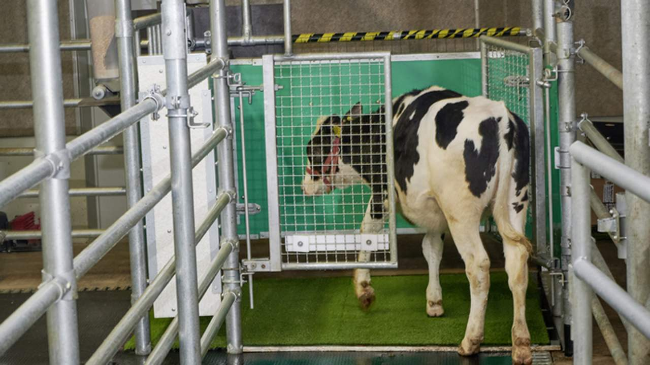 Researchers create a MooLoo to toilet train cows
