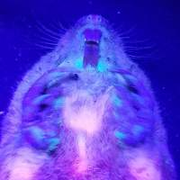 It turns out gophers glow when you shine a UV light on them