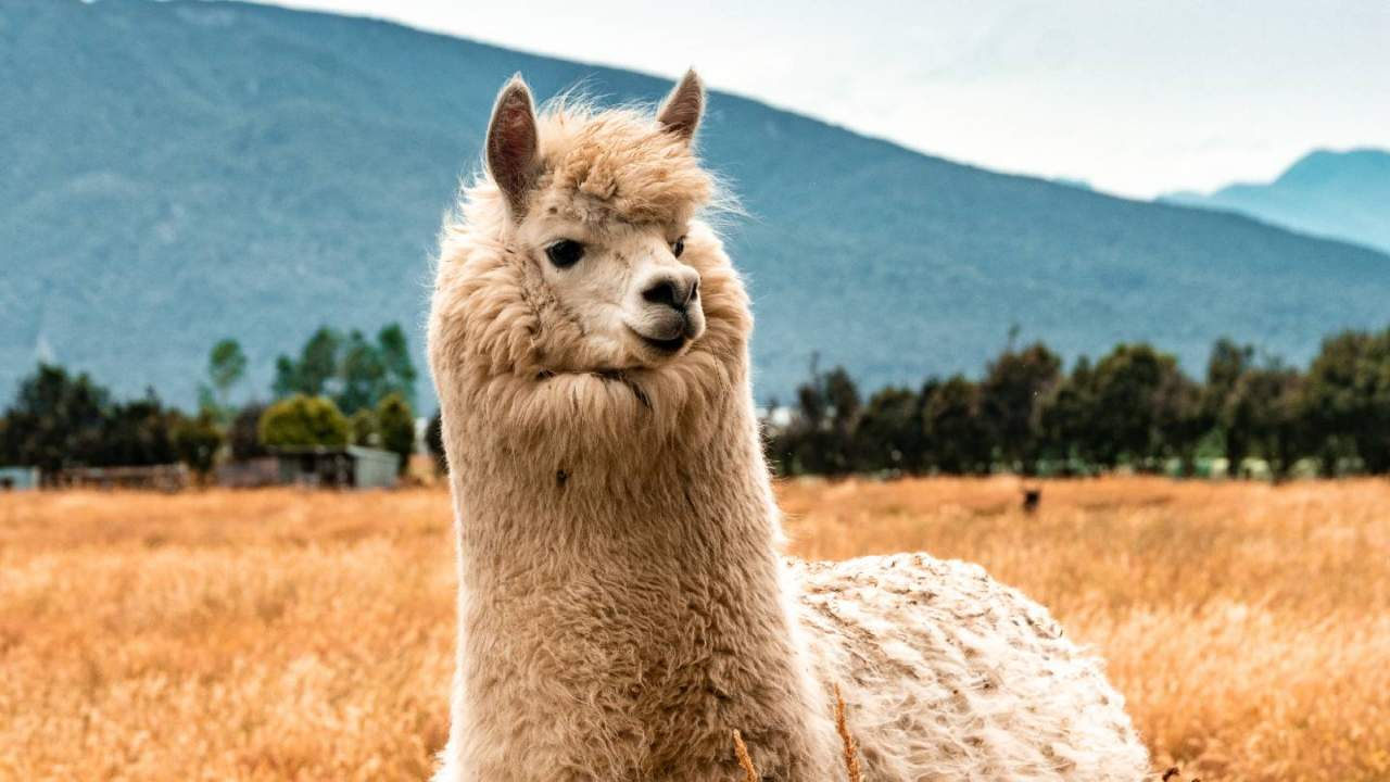 Lab-made llama nanobodies may be a potent treatment for COVID-19