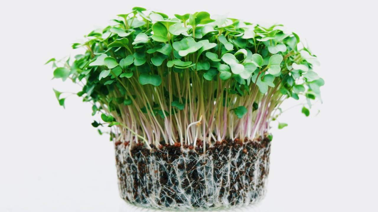 Trendy microgreens offer nutrition security as climate concerns grow