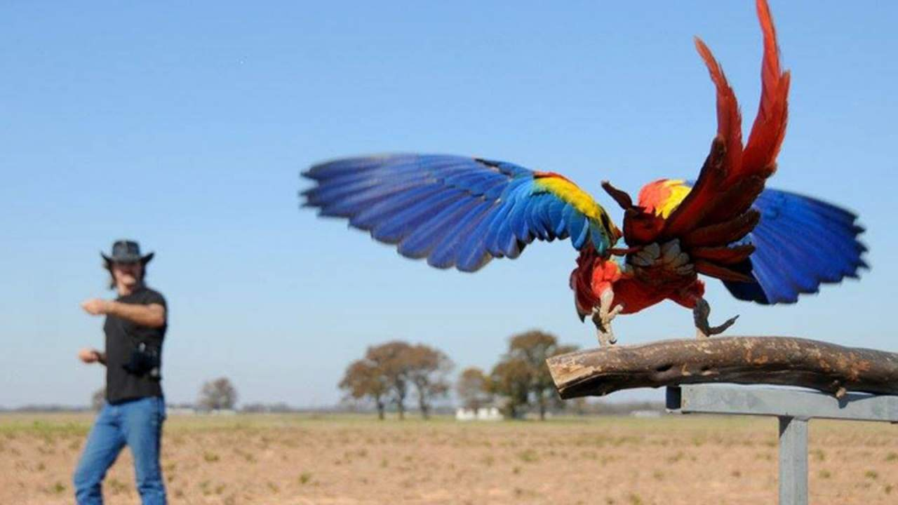 Parrots are getting free flight training courtesy of Aggie researchers