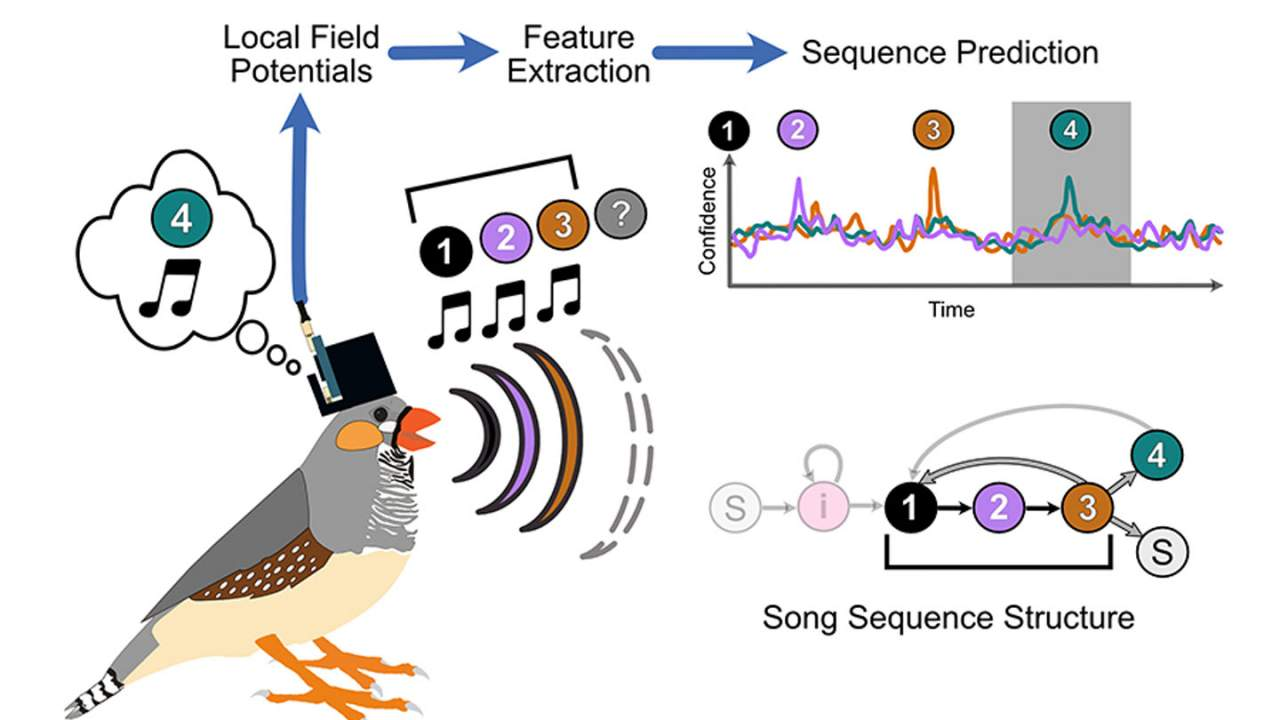 Experiment predicts syllables birds will sing based on brain signals