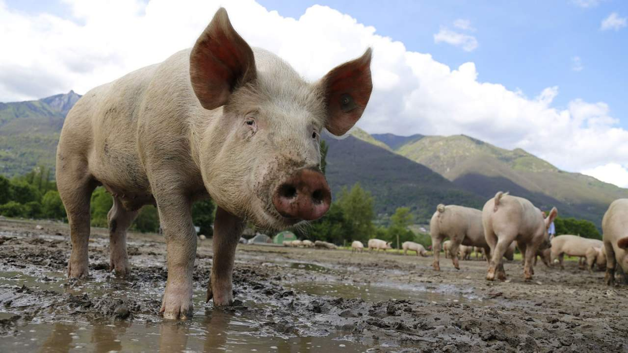 For the first time a modified pig kidney has been transplanted into a human